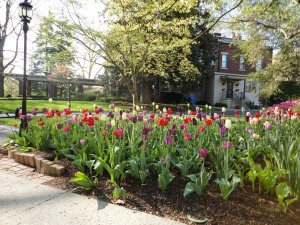 Colorful tulips outside of Maxwell Place.